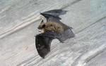 Bat at Zuckerberg Island
