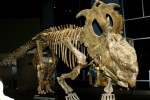 Pachyrhinosaurus Royal Tyrrell Museum